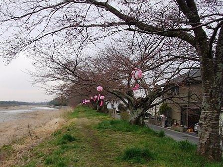金崎の桜堤